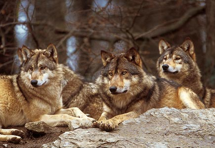 Wolf Germany euronatur protecting wolves in germany