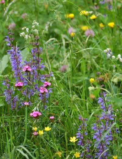 Blühende Alpenwiese