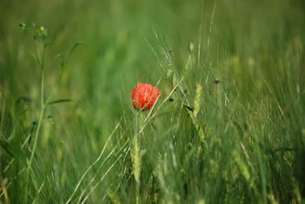 <p> </p><p> </p><p> </p><p>                Poppy in a barley field</p><p> </p><p> </p><p> </p>